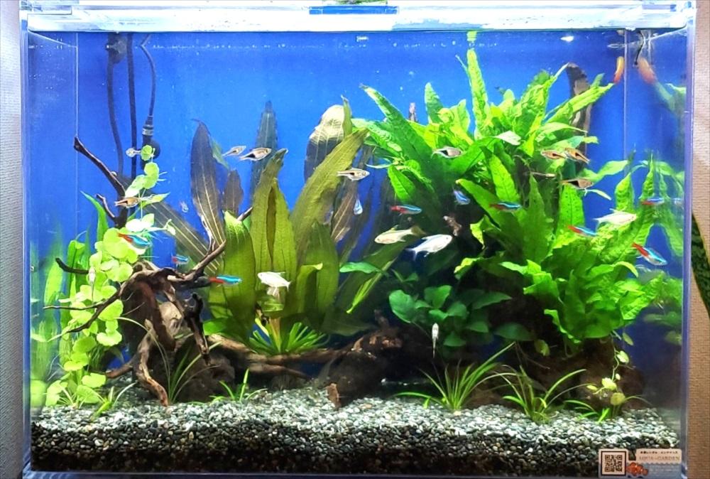 オフィスのエントランス 60cm淡水魚水槽 正面アップ画像