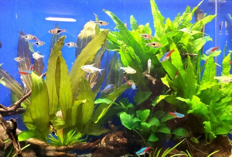 新宿区 オフィスのエントランス 60cm淡水魚水槽事例 水槽画像4