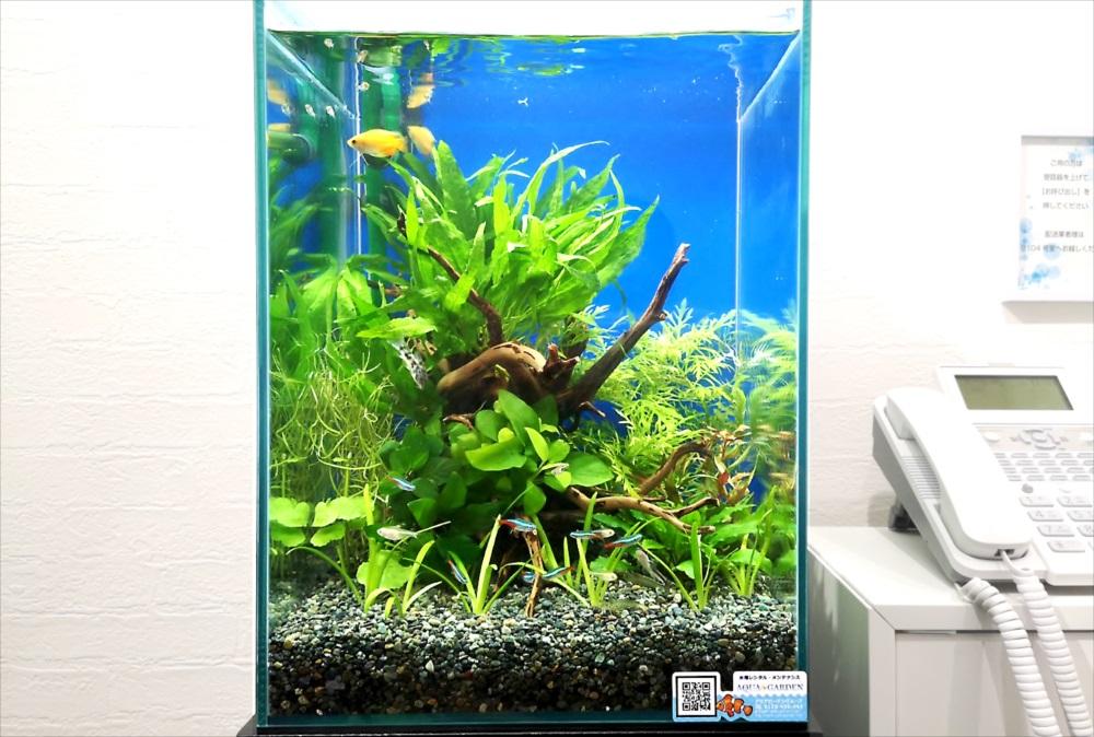 オフィスの受付ロビー 30cm淡水魚水槽 アップ画像