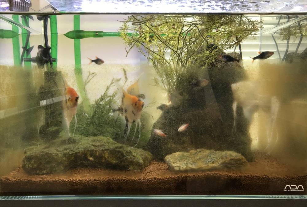 オフィス 45cm淡水魚水槽メンテナンス コケ画像