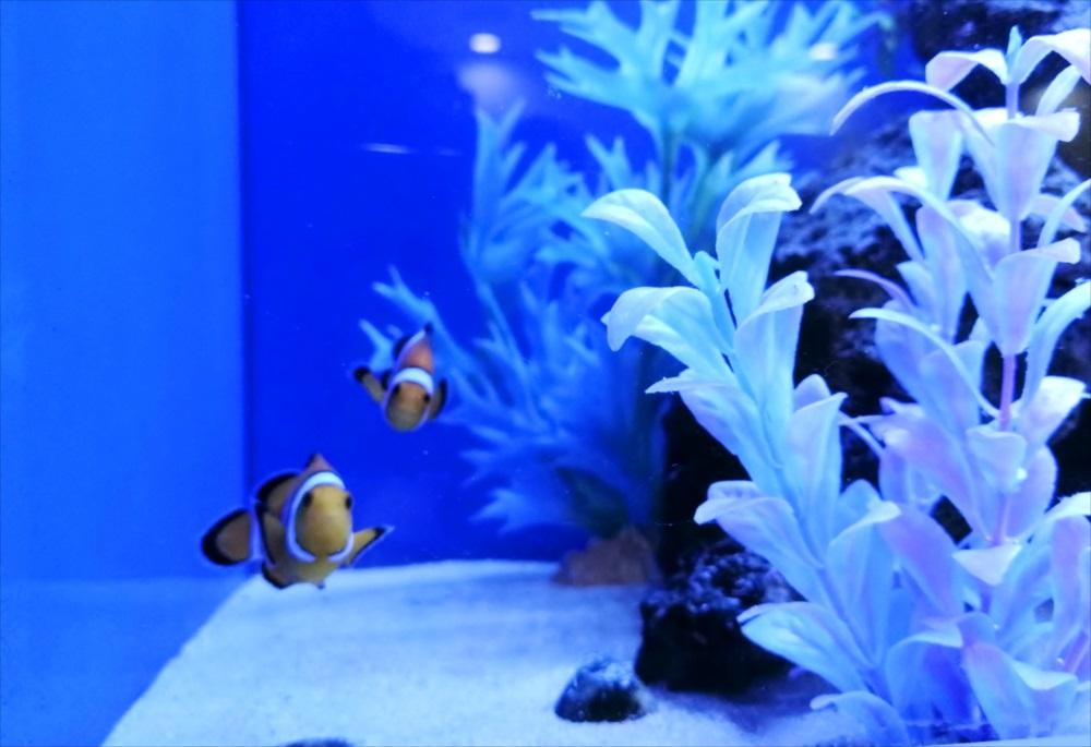 クリニックの待合室 大型海水魚水槽 カクレクマノミ画像