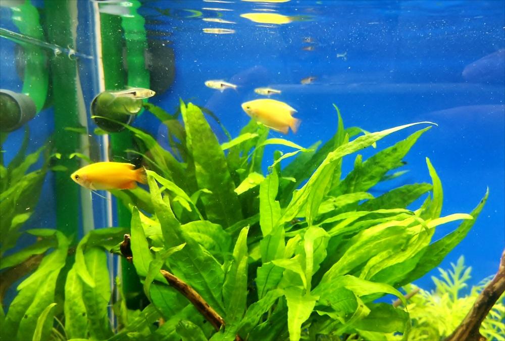 オフィスの受付ロビー 30cm淡水魚水槽 生体画像