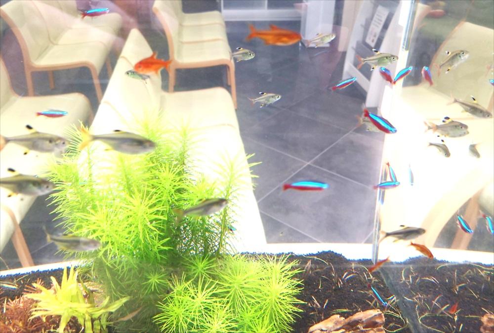 眼科クリニック 120cm淡水魚水槽 生体画像