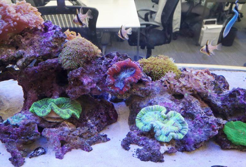 オフィス 大型サンゴ水槽 設置事例 その後 水槽画像2