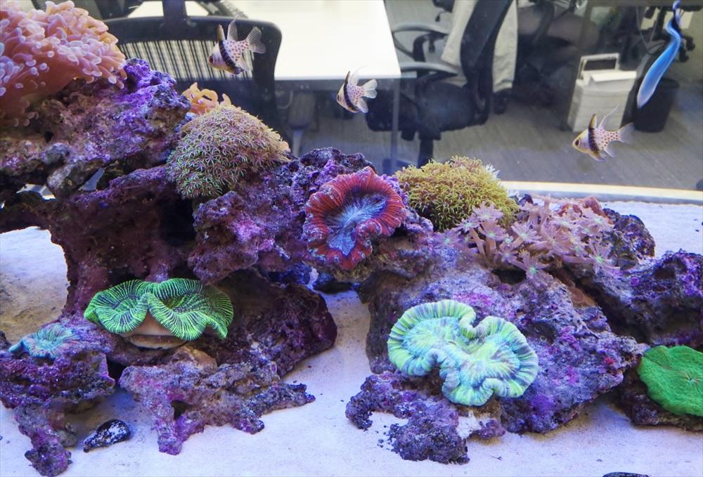 オフィス 大型サンゴ水槽 珊瑚全体画像
