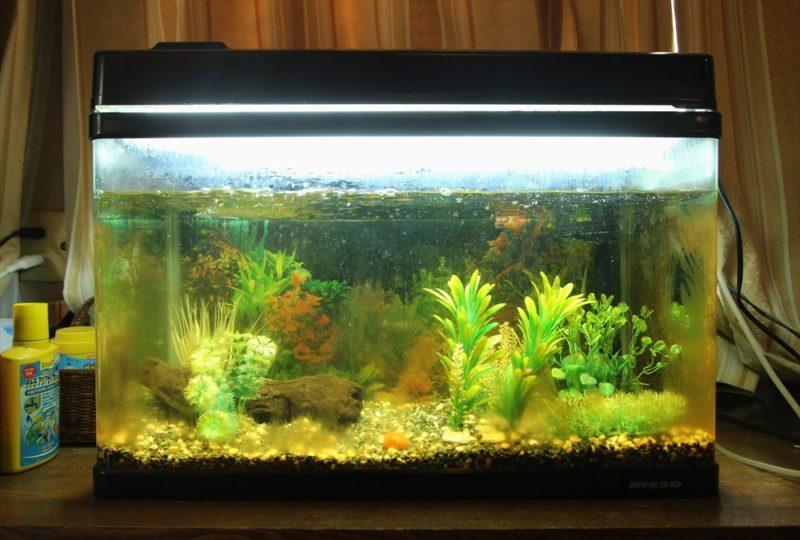 杉並区個人宅 60cm淡水魚水槽 スポットメンテナンス事例 水槽画像4