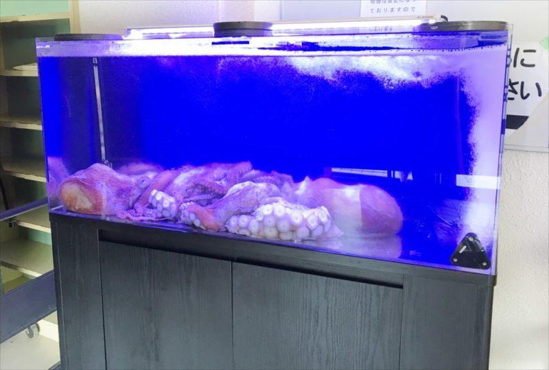 朝日放送テレビ『探偵ナイトスクープ』 タコ水槽を設置 水槽画像3