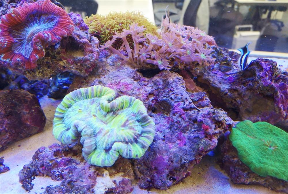 オフィス 大型サンゴ水槽 珊瑚画像