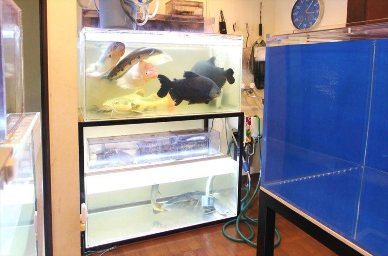 個人宅 アロワナ 大型水槽 販売・設置事例 水槽画像3