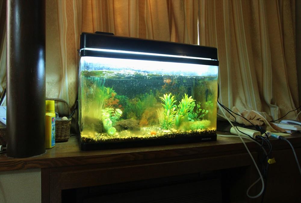 60cm淡水魚水槽 スポットメンテナンス コケ画像