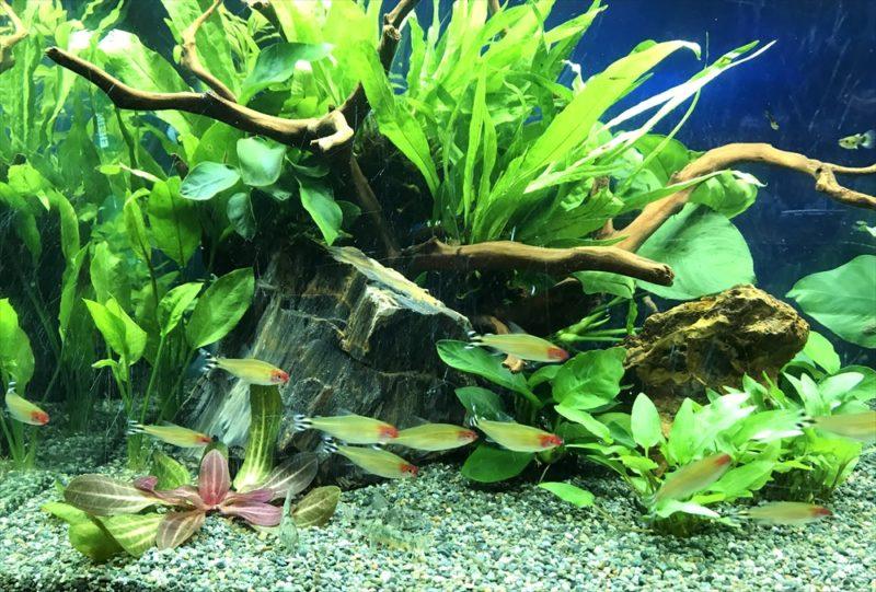 オフィス 90cm淡水魚水槽 リニューアル・メンテンナス事例 水槽画像5