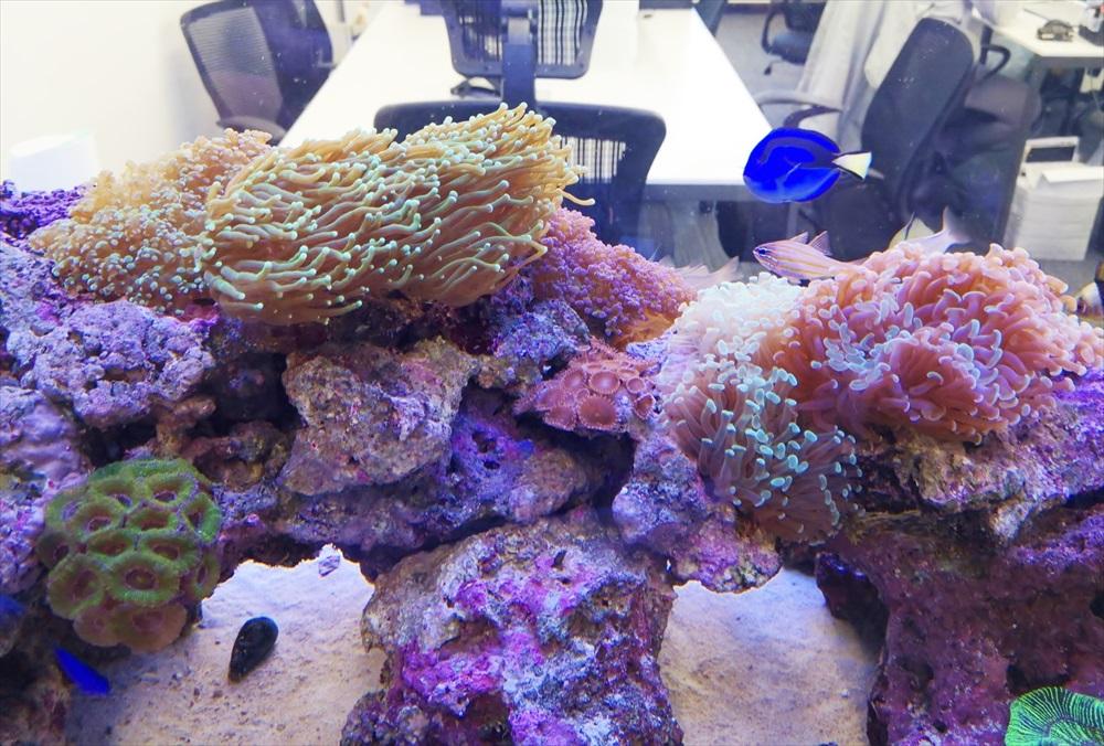 オフィス 大型サンゴ水槽 熱帯魚画像