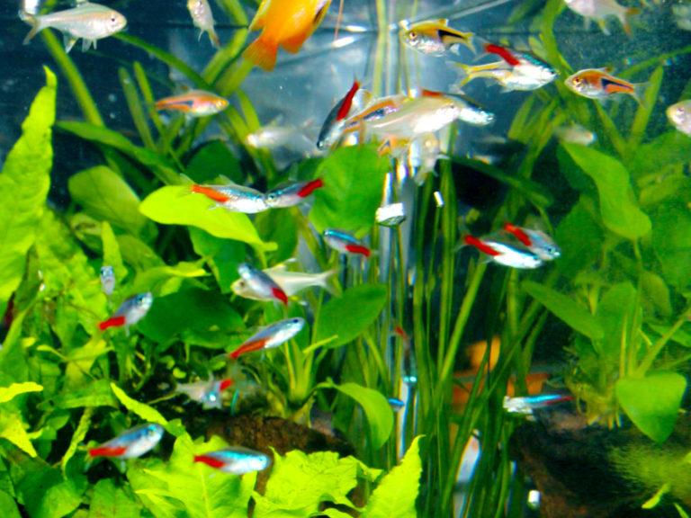 【初心者向き】混泳できる熱帯魚20種とできない魚種!特徴をご紹介 水槽画像