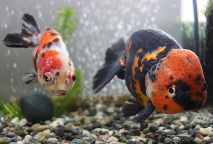 【プロが解説】金魚や熱帯魚を早く簡単に大きく育てる方法とはのサムネイル画像