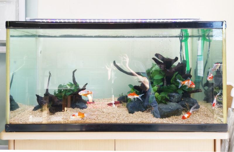 個人宅様が所有されている90cm金魚水槽のリニューアルを行いました 水槽画像1