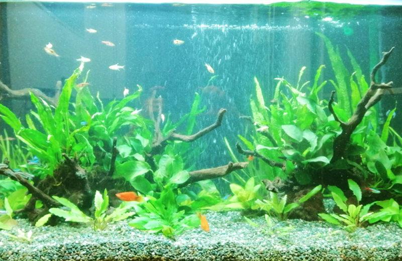 株式会社イー・ブレーン様 90cm淡水魚水槽 レンタル事例 水槽画像2