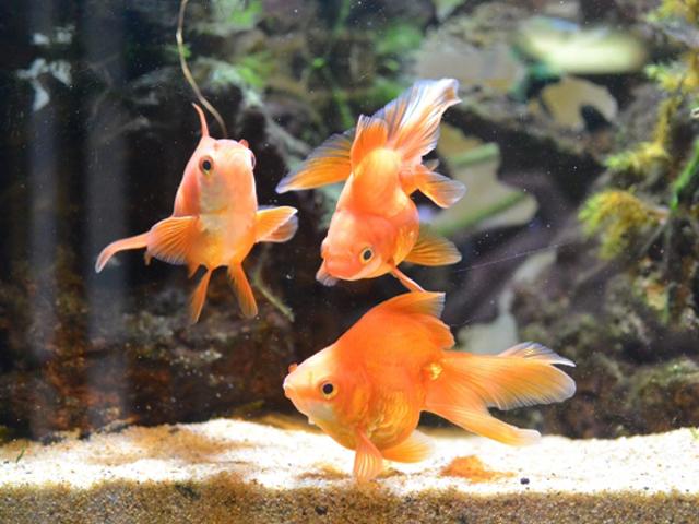 【完全版】金魚の飼い方、育て方!水温、ろ過フィルター、水換えなど徹底解説!のサムネイル画像