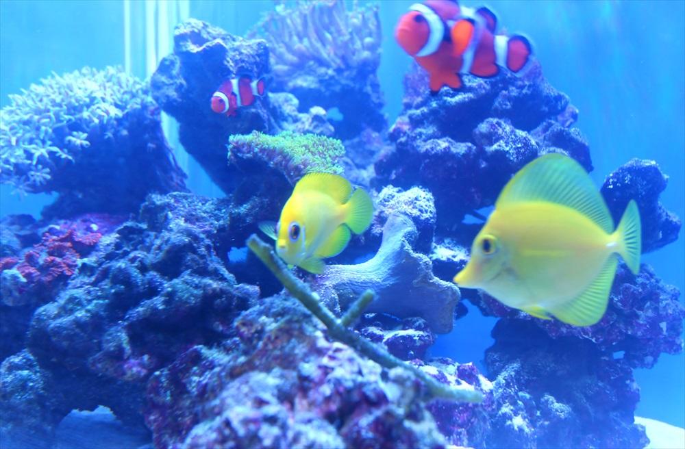 個人宅 海水魚水槽 生体アップ画像
