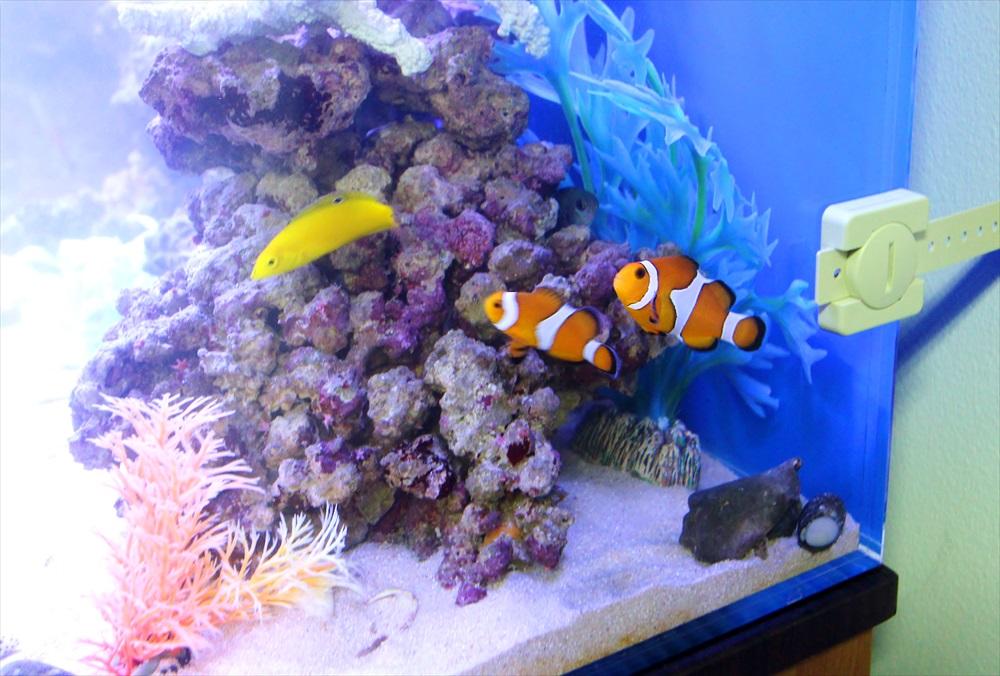 オフィス事務所 90cm海水魚水槽 カクレクマノミ画像