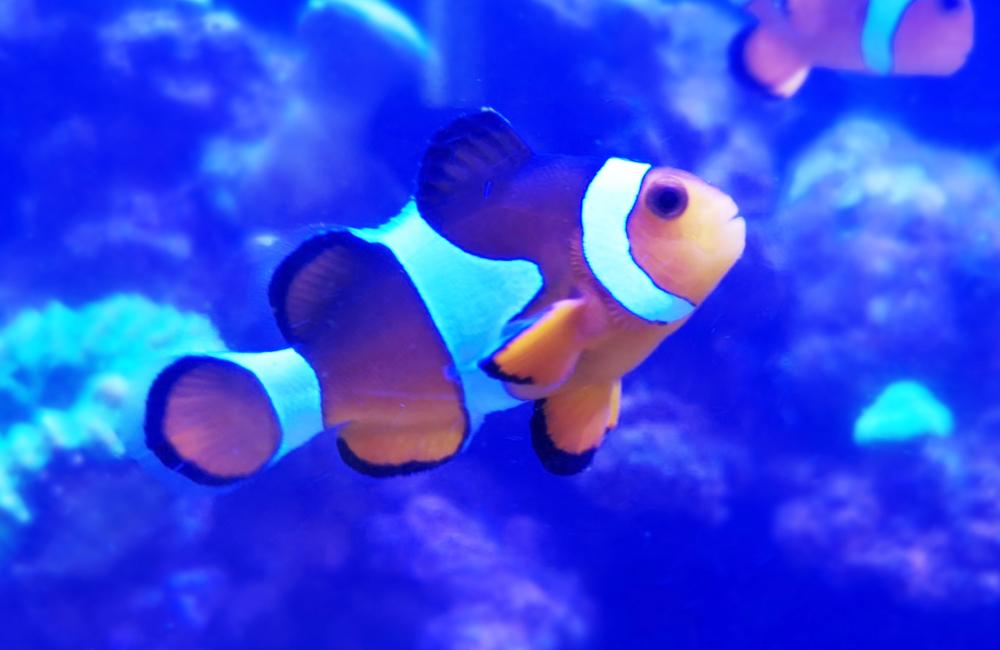 海水魚水槽 スポットメンテナンス カクレクマノミ画像