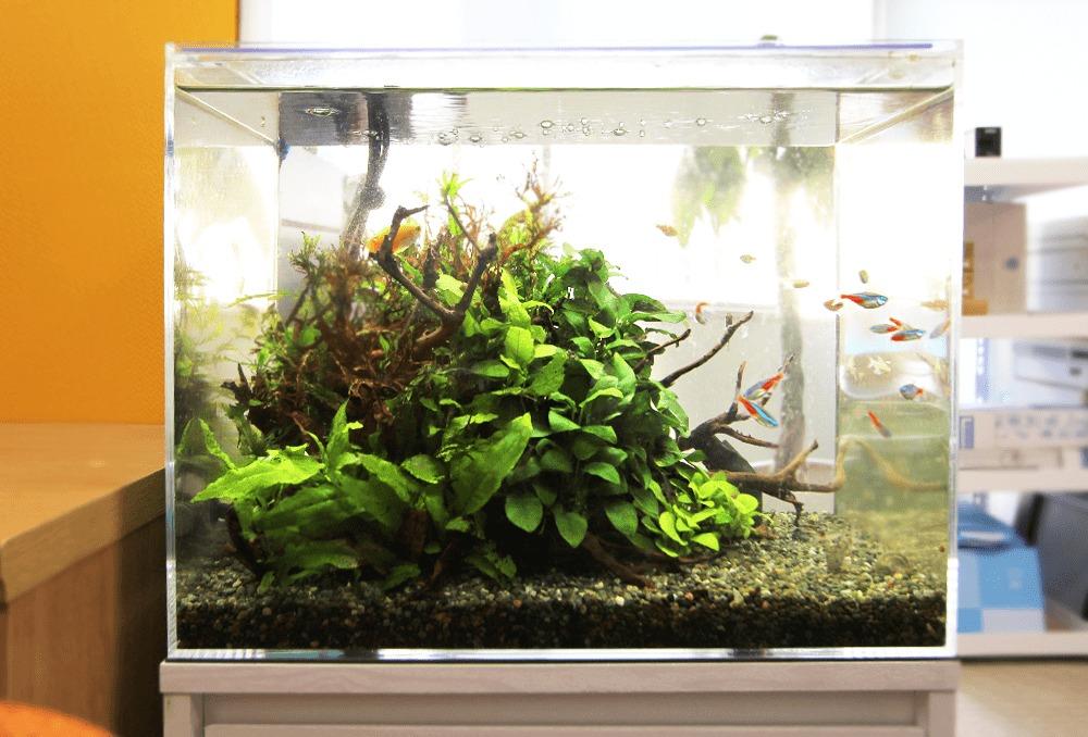 中央区 法律事務所 45cm淡水魚水槽 レンタル事例
