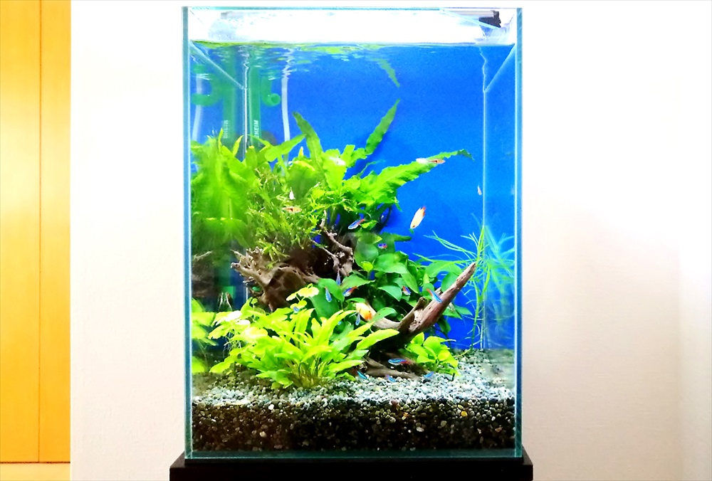 個人宅のリビング 30cm淡水魚水槽 アップ画像