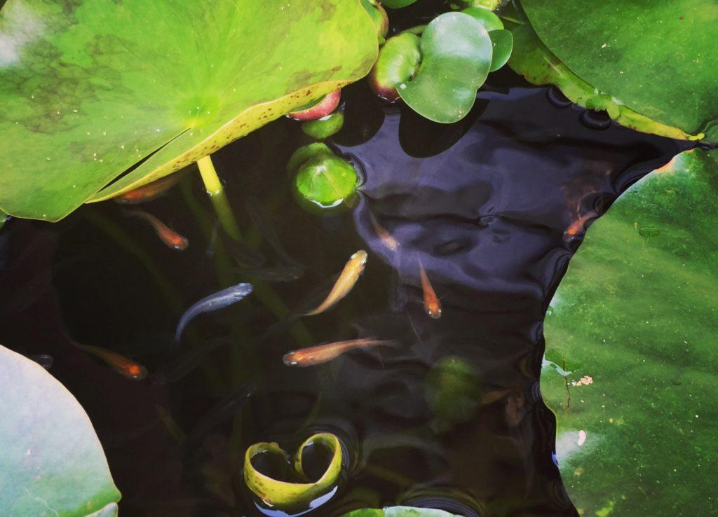 【プロが教える】メダカを長生きさせるコツとは!長生きする種類もご紹介のサムネイル画像