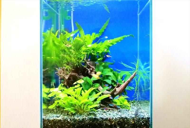 埼玉県 個人宅 30cm淡水魚水槽 お試し水槽レンタル事例 水槽画像5