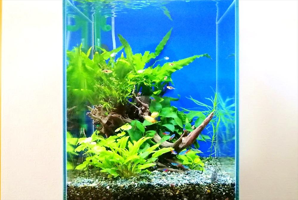 個人宅のリビング 30cm淡水魚水槽 正面アップ画像