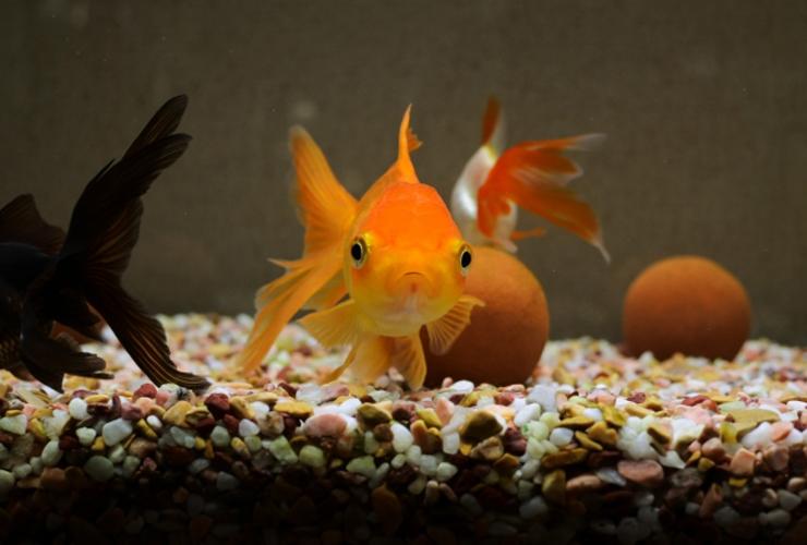 金魚飼育の失敗例10個!初心者がやりがちな例を知って長生きさせよう!のサムネイル画像