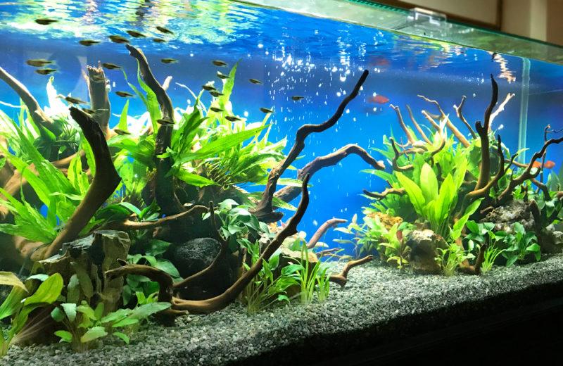 飲食店(Bar) 120cm淡水魚水槽 レンタル事例 水槽画像4