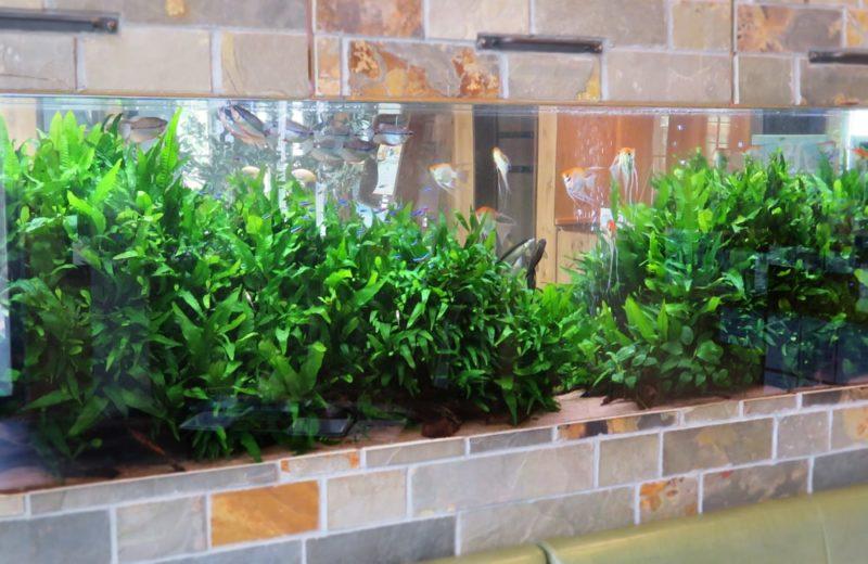 薬局 壁埋め込み 260cm淡水魚水槽 リース事例 その後 水槽画像3