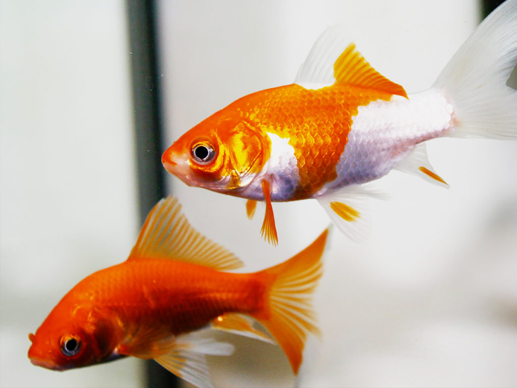 金魚の人気で初心者が飼いやすい種類ベスト10!プロが選ぶ丈夫な品種 水槽画像