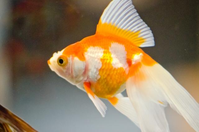 金魚の消化不良が治らない!改善策と絶食の必要性!季節ごとの餌やりとは 水槽画像