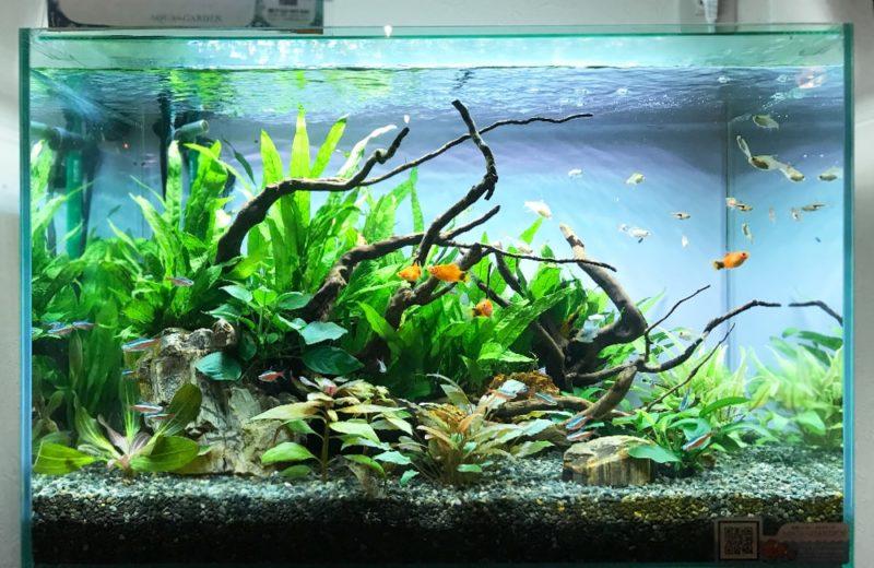 大阪府大阪市 飲食店に設置した60cm淡水魚水槽 水槽レンタル事例 水槽画像2