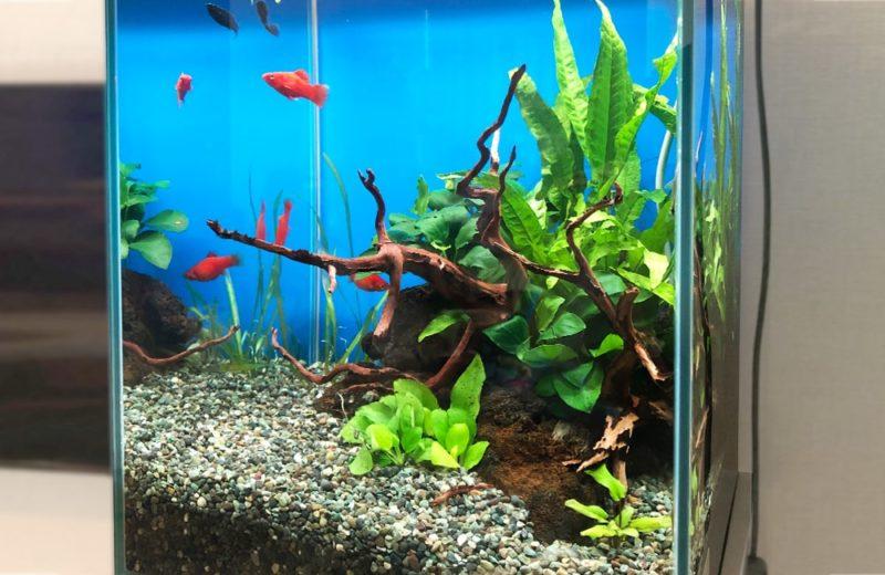 東京都 小型アクアリウム 30cm淡水魚水槽 レンタル事例 水槽画像3