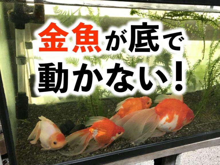 金魚が動かない?!原因と対策とは!体調不良・病気など様々な要因を解説のサムネイル画像