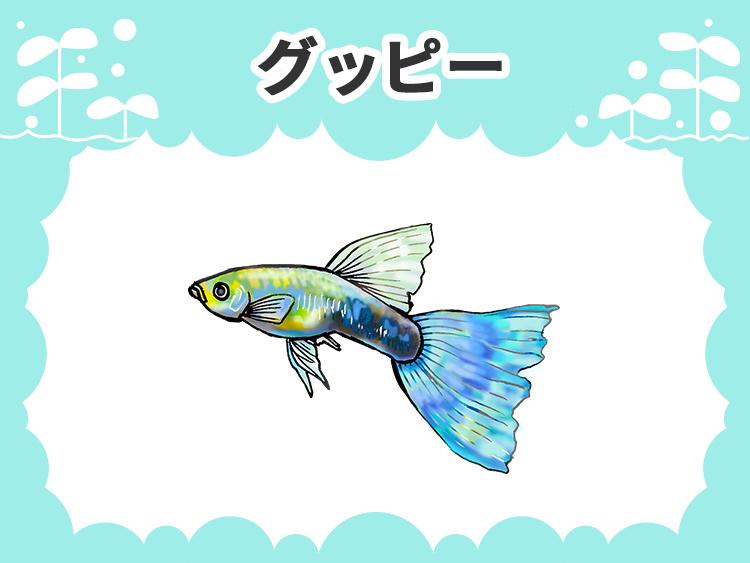 グッピーのお魚図鑑