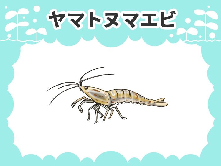 ヤマトヌマエビ 水槽画像
