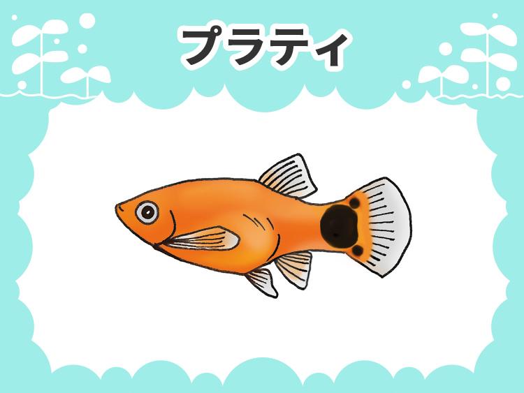 プラティのお魚図鑑