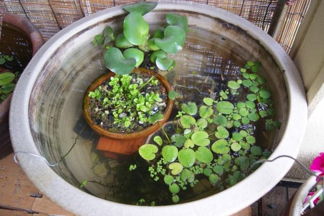 【初心者でも簡単!】ビオトープに人気でおすすめの水草10選のサムネイル画像