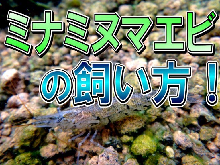 ミナミヌマエビの飼い方!餌・水質・繁殖方法など飼育の基本を解説しますのサムネイル画像