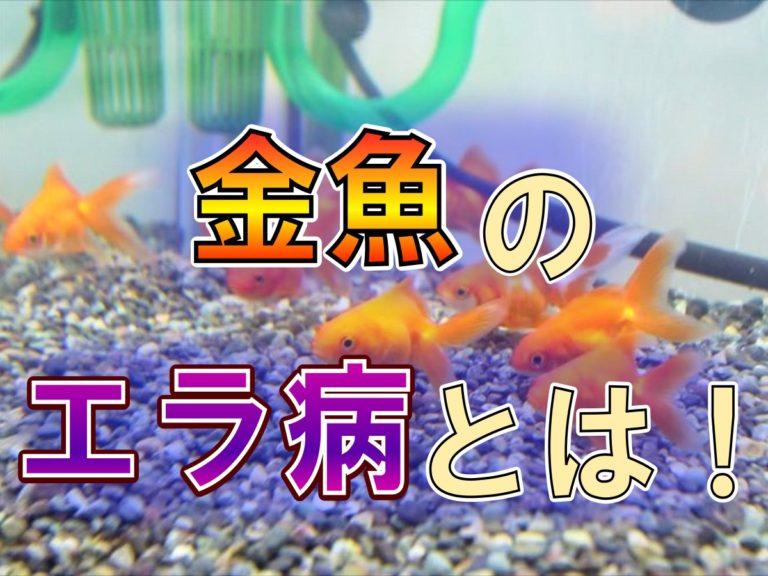 金魚のエラ病とは!原因と治療方法!エラ病にしないための対策を考える! 水槽画像