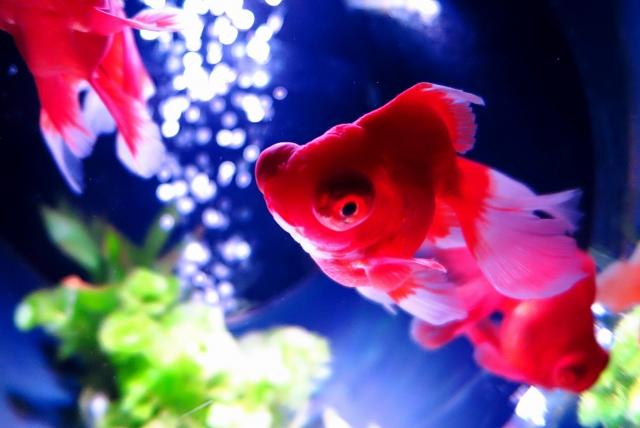 金魚水槽のコケを食べてくれる!?混泳可能なお掃除係の生き物ベスト3のサムネイル画像
