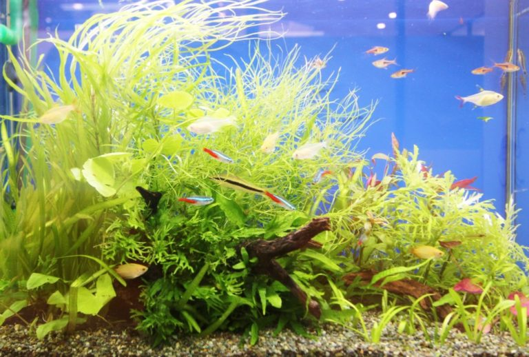 60cm水槽に最適な熱帯魚の数とは?計算方法と考え方について 水槽画像