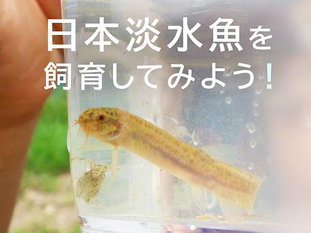 日本淡水魚を飼育しよう!飼育しやすい種類や飼育方法をプロが解説しますのサムネイル画像