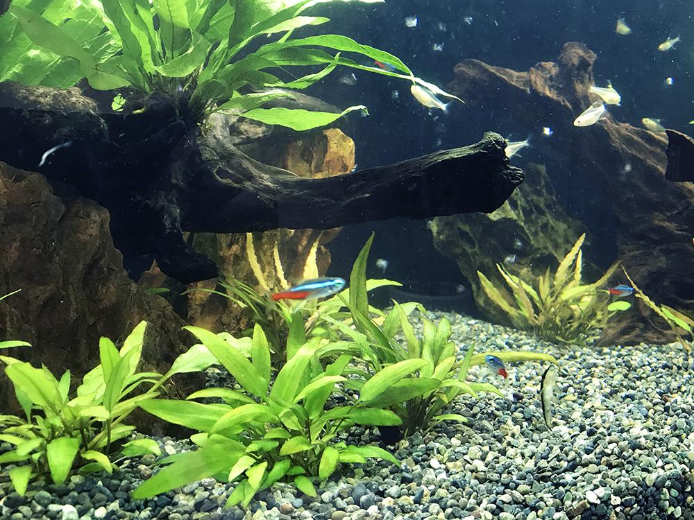 クリプトコリネを育てよう!種類や光量、肥料や水槽での増やし方とは 水槽画像