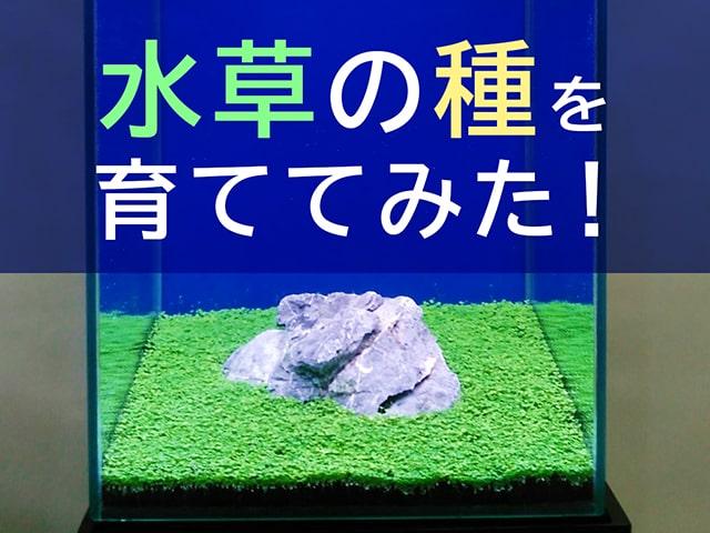 水草を種から育てる方法とは!30cm水槽で実際に撒いて育てました!のサムネイル画像