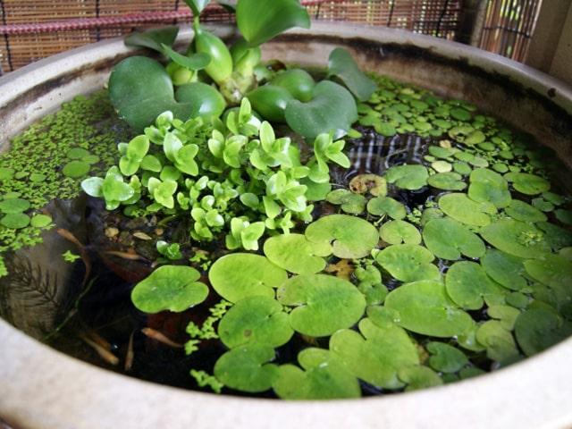 ビオトープは睡蓮鉢で決定! メダカや金魚におすすめな睡蓮鉢の種類別15選 水槽画像