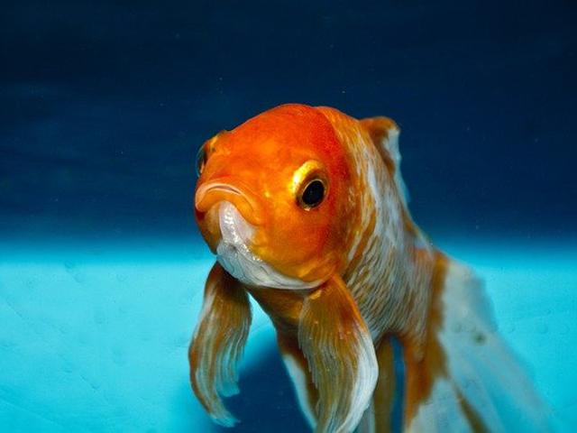 熱帯魚の感染症・エロモナス菌による病気と症状、薬、治療法とはのサムネイル画像